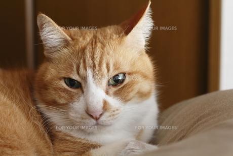 茶トラの猫(カメラ目線)の写真素材 [FYI00164912]