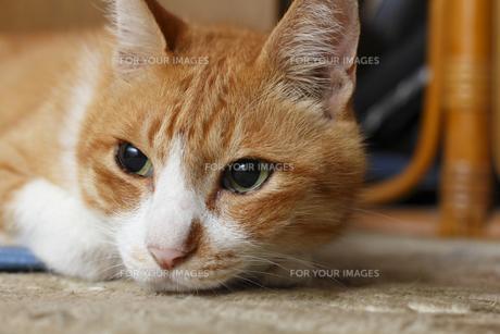 茶トラ猫の顔のアップの写真素材 [FYI00164925]