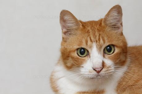 正面からの茶トラ猫④の写真素材 [FYI00164926]