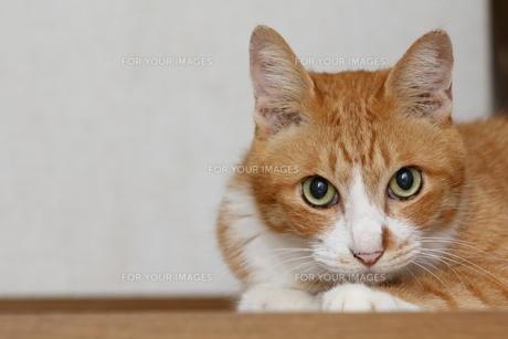 正面からの茶トラ猫⑤の写真素材 [FYI00164929]