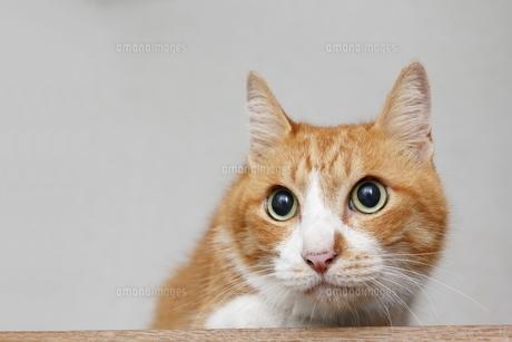 目がくっきりした茶トラ猫の写真素材 [FYI00164933]