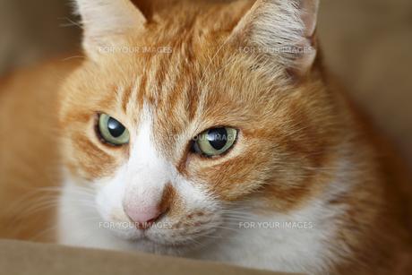 茶トラ猫の顔のアップ④の写真素材 [FYI00164936]