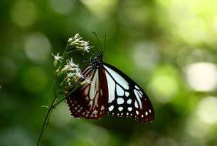 蜜を探す蝶の写真素材 [FYI00165096]