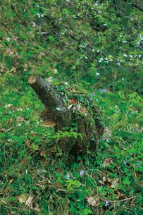 森の中で見かけた、小象に見える木の写真素材 [FYI00165130]