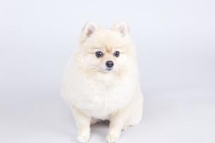 小型犬・ポメラニアンの写真素材 [FYI00165147]