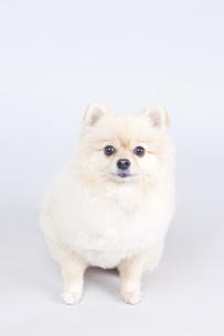 小型犬・ポメラニアンの写真素材 [FYI00165150]