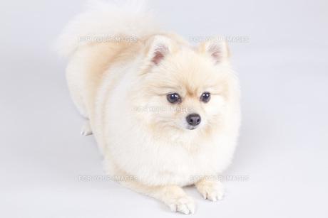 小型犬・ポメラニアンの写真素材 [FYI00165160]