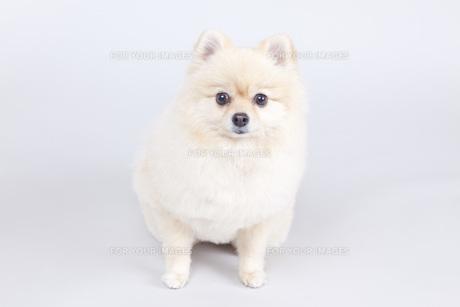 小型犬・ポメラニアンの写真素材 [FYI00165161]