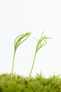 発芽の写真素材 [FYI00165162]