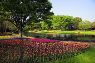 チューリップ咲く公園の写真素材 [FYI00165449]