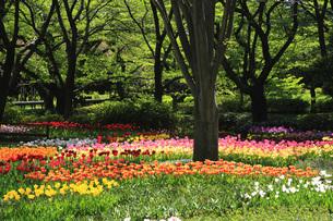 チューリップ咲く公園の写真素材 [FYI00165490]