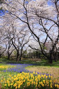 スイセンと桜の写真素材 [FYI00165508]