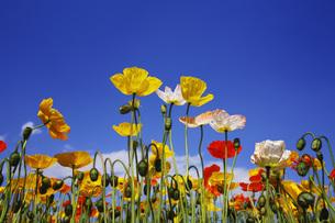 ひなげしの花の写真素材 [FYI00165624]