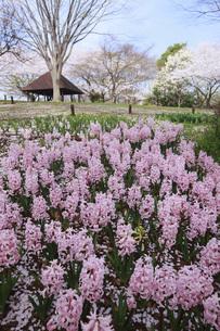クロッカスと桜の写真素材 [FYI00165637]