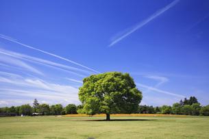 けやきの大樹の写真素材 [FYI00165641]