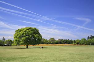 けやきの大樹の写真素材 [FYI00165642]