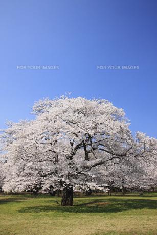 ソメイヨシノ桜の素材 [FYI00165648]