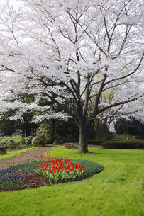 満開のソメイヨシノ桜咲く春の公園の写真素材 [FYI00165653]