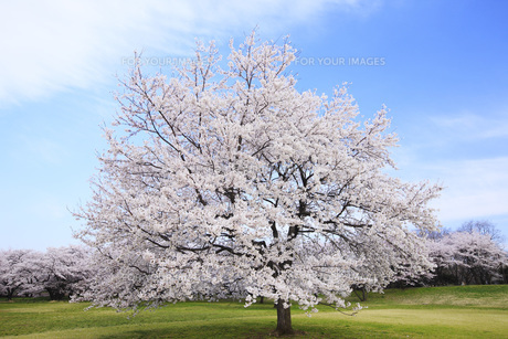 満開のソメイヨシノ桜咲く春の公園の素材 [FYI00165654]