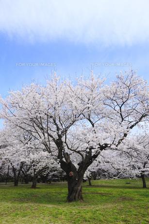 満開のソメイヨシノ桜の素材 [FYI00165660]