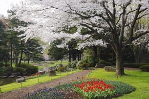 満開のソメイヨシノ桜咲く春の公園の写真素材 [FYI00165663]