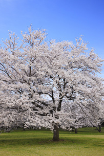 満開のソメイヨシノ桜の写真素材 [FYI00165664]