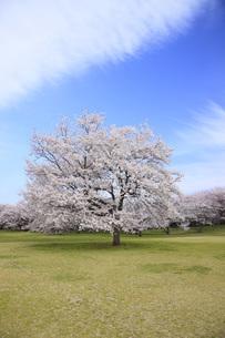満開のソメイヨシノ桜の素材 [FYI00165667]