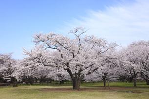 満開のソメイヨシノ桜の写真素材 [FYI00165668]