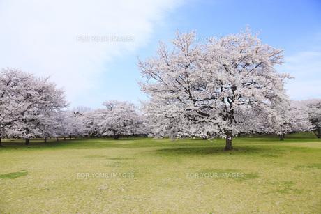 満開のソメイヨシノ桜咲く春の公園の素材 [FYI00165672]
