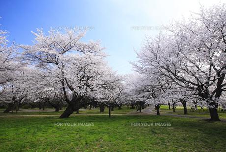 満開のソメイヨシノ桜の素材 [FYI00165673]