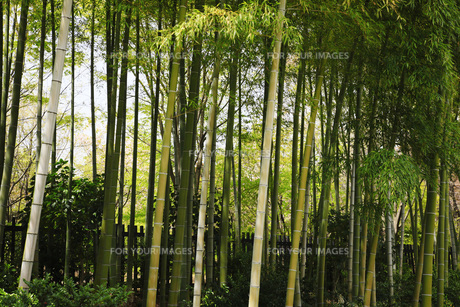 竹林の素材 [FYI00165674]