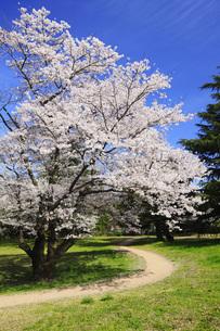 満開のソメイヨシノ桜の写真素材 [FYI00165688]