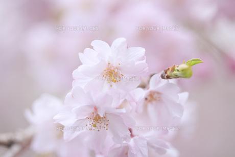 桜の素材 [FYI00165692]