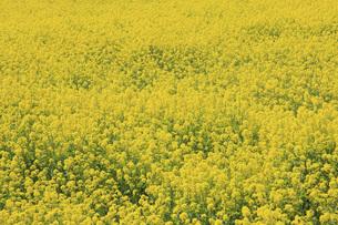 菜の花畑の写真素材 [FYI00165695]