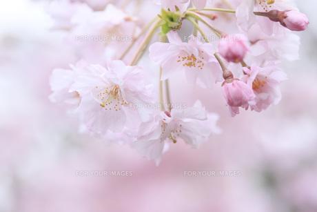 桜の素材 [FYI00165697]