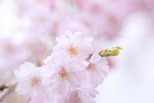 桜の素材 [FYI00165704]