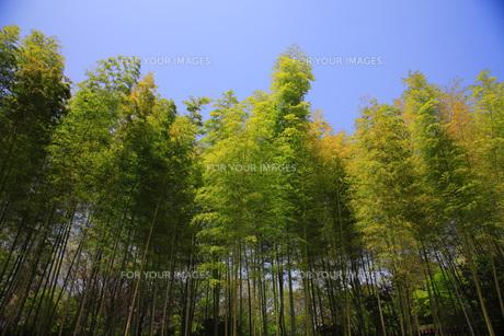 竹林の素材 [FYI00165706]