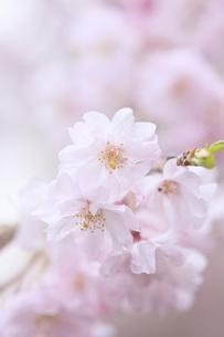 桜の素材 [FYI00165712]
