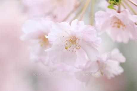 桜の素材 [FYI00165717]