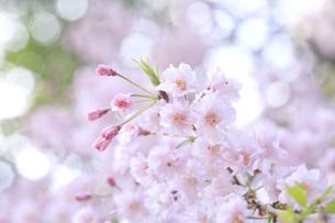 桜の素材 [FYI00165781]