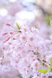 桜の写真素材 [FYI00165795]
