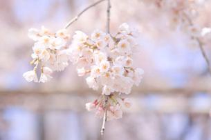 桜の写真素材 [FYI00165815]