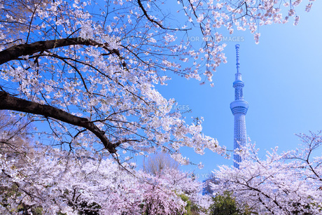 桜と東京スカイツリーの素材 [FYI00165901]