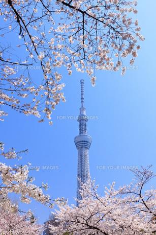桜と東京スカイツリーの素材 [FYI00165902]