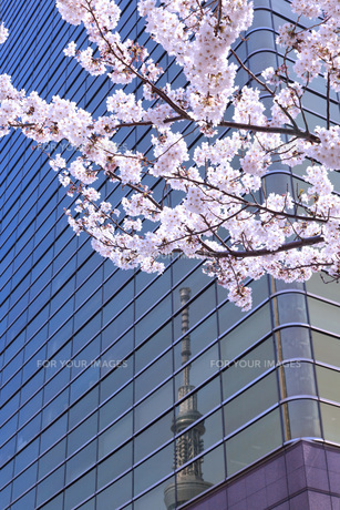 桜と東京スカイツリーの素材 [FYI00165903]