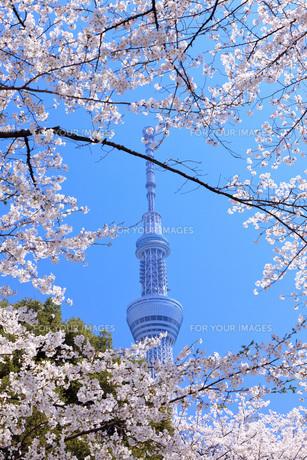 桜と東京スカイツリーの素材 [FYI00165907]