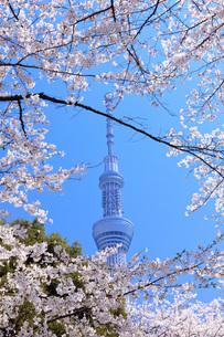 桜と東京スカイツリーの写真素材 [FYI00165907]