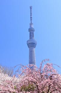 桜と東京スカイツリーの写真素材 [FYI00165909]