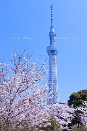 桜と東京スカイツリーの素材 [FYI00165913]