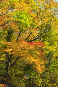 秋色に染まる木々の写真素材 [FYI00166011]